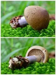 cortinarius torvus mushroom