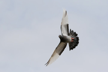 flying homing pigeon bird flying agaianst clear white sky