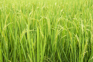 Green ear of rice in paddy rice field.