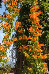 Geschlossene orange Blüten am Baum im Garten