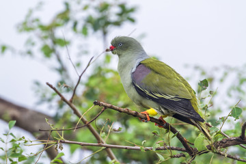 African Green-Pigeon in Kruger National park, South Africa