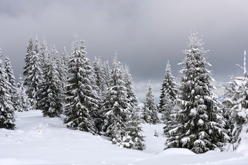 Magical snow covered fir trees in the mountains