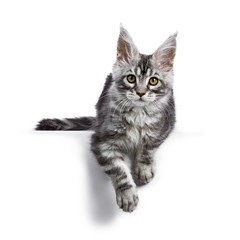 Black silver tabby Maine Coon cat kitten laying isolated on white background with paws hanging down over edge