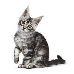 Black silver tabby Maine Coon cat kitten sitting isolated on white background with paw lifted and head tilted