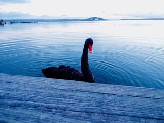 Black swan be side blue lake so beautiful in New Zeland