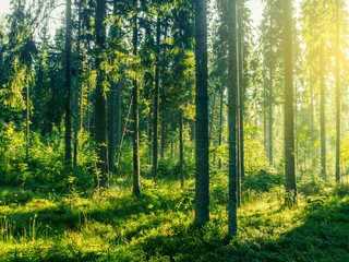 Sunny Morning In Coniferous Forest