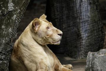 Image of a female lion on nature background. Wildlife Animals.