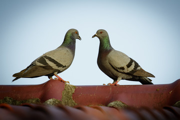 Image of two pigeons on the roof. Bird, Animal.