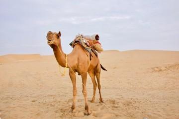 Camel in the dessert, Jaisalmer, Rajasthan, India