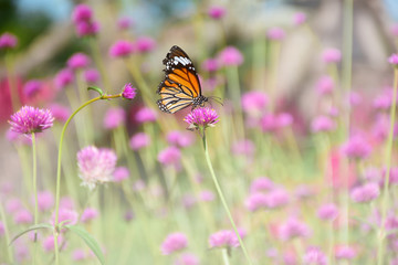 butterfly eat sweet nectar from pink fireworks flower in the garden with copy space