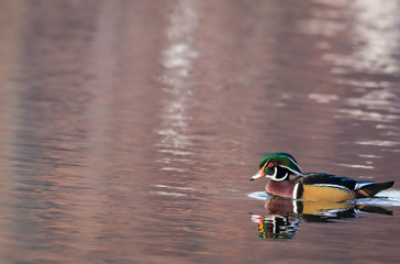 Wood Duck (Aix sponsa) male in beautiful reflective lake water on an afternoon in late fall
