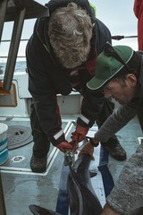 Fishermen tagging fin of shark