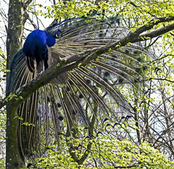 Peacock on the tree branch