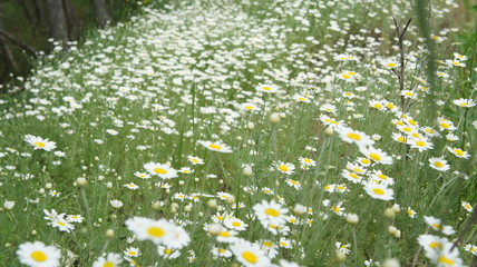 Camomile Flower