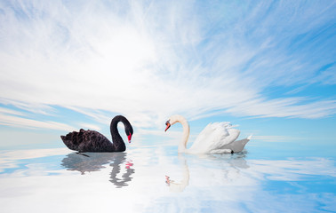 Black and White swan with reflection on water