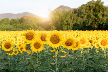 beautiful sunflower fields with sunrise