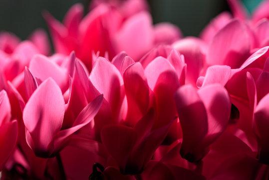 ピンクのシクラメンの花弁