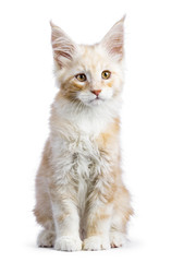Red silver Maine Coon cat kitten sitting isolated on white background looking up a bit down