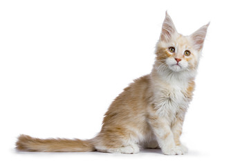 Red silver Maine Coon cat kitten sitting side ways isolated on white background looking up a bit up