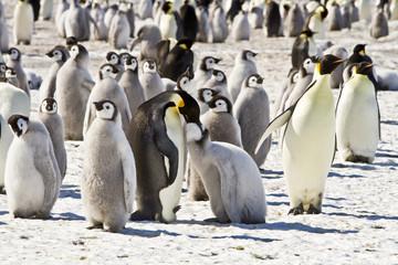 A couple of Emperor penguins(aptenodytes forsteri)colony on the ice of Davis sea,Antarctica