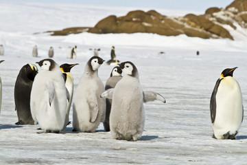Tuinposter Pinguin Chick the Emperor penguin(aptenodytes forsteri)colony on the ice of Davis sea,Eastern Antarctica