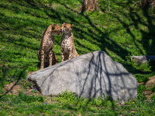 Two Cheetah Near Rock, Licking, Couple, Grooming