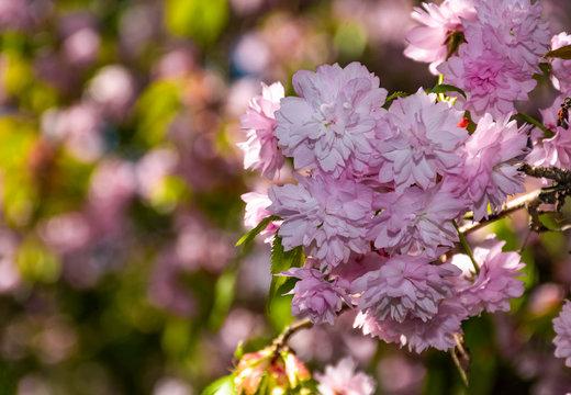 Beautiful springtime background. Sakura flowers blossom in garden