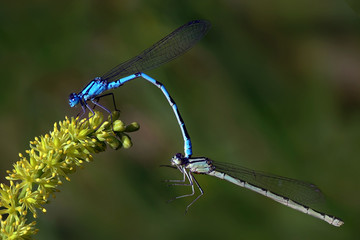 Mating pair of blue Damselfly, a beautiful dragonfly