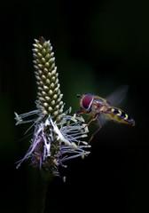 Hoverfly, flying and feeding nectar