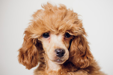 Poodle with Golden Brown Fur on a white background