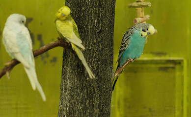Budgerigars, offered for sale, are pictured at a pet salon in Sao Paulo