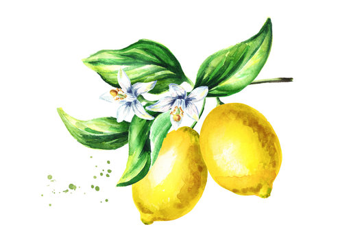 Lemon branch with fruits flowers and leaves. Watercolor hand drawn illustration