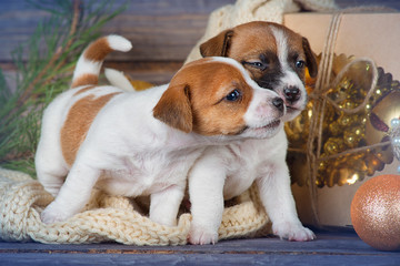 Two cute puppy Jack Russell Terrier play with each other between Christmas decorations on wooden background