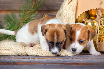 Two cute puppy Jack Russell Terrier next to each other playing in the new year interiors on wooden background