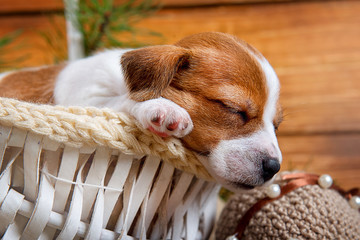 Cute puppy Jack Russell Terrier sleeps in a white basket in the new interiors on wooden background close-up