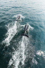 Two white sided dolphins