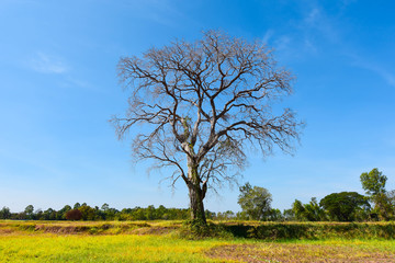 Trees leave their dead leaves in the arid yellow meadow. Dry branches and blue sky