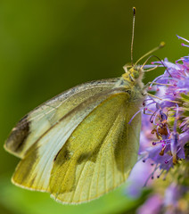 Closeup of a Cabbage White Butterfly Feeding on Purple Flowers