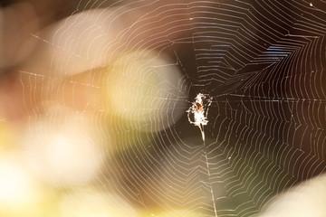 Black and Yellow Argiope spider Argiope aurantia