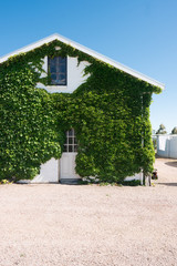 White Barn with climbing ivy