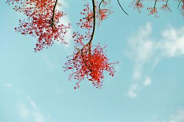 Red flower tree / Blue sky