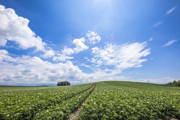 北海道のジャガイモの花と青空