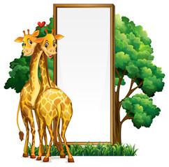 Two giraffes and blank whiteboard