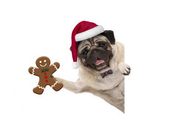 smiling Christmas pug dog holding up gingerbread man and wearing Santa hat, with paw on white banner, isolated