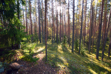In a pine forest on a Sunny day in the summer.