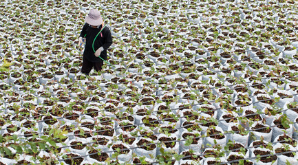 Workers are watering strawberry trees in vegetable farms