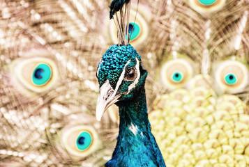 Indian peafowl - Pavo cristatus - male (peacock), yellow filter