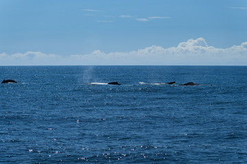Rückenflossen von vier Walen im offenen Meer