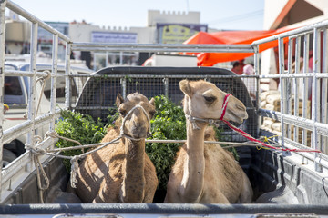 camels being transported at a back of a car