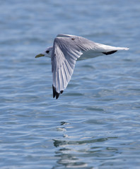 Kittiwake (Rissa tridactyla), adult in flight low over a lake, Iceland.
